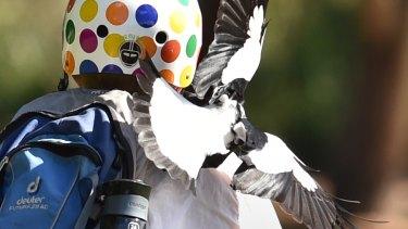 Magpie attacking cyclist at Bicentenniel Park, Glebe.