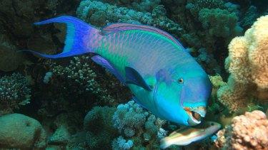 Parrotfish at risk.