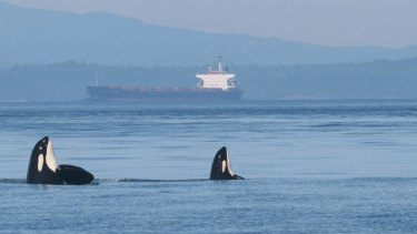 Two endangered Southern Resident orcas rise in unison from the Salish Sea as a noisy tanker passes through their marine habitat, along the Canada-US border.