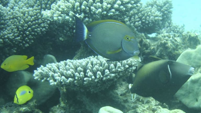 An eyestripe surgeonfish, one of the tropical species shifting its distribution towards temperate waters.