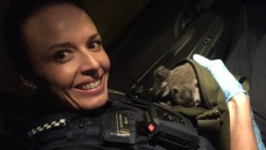 Police have found a baby koala in a woman's bag after stopping her at Wishart on November 6.
