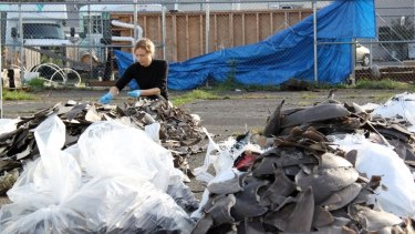 Dr Jenny Giles is an expert in identifying fins being traded illegally on the international market.