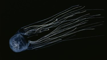 Box jellyfish, or more specifically chironex fleckeri, is the deadliest jellyfish in north Queensland.