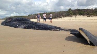 Rotting sperm whale carcass on Moreton Island.