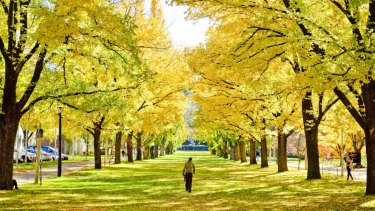 Autumn leaves at the Australian National University in Canberra.