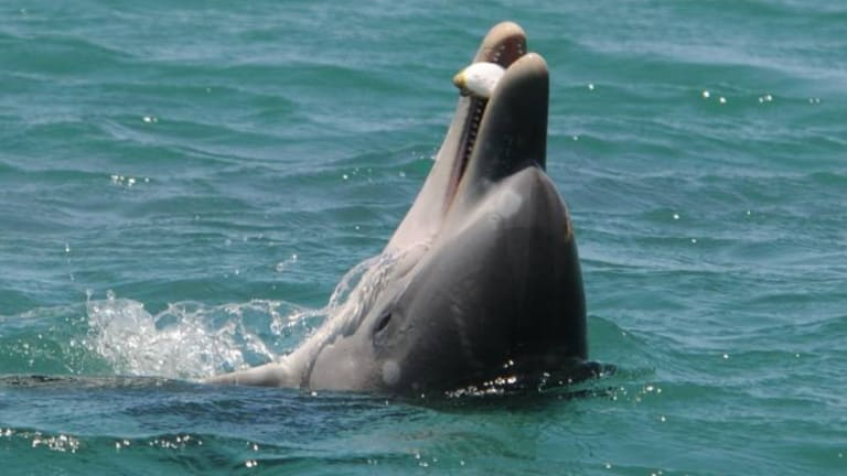 The young dolphin Huubster tosses a blowfish in the air.