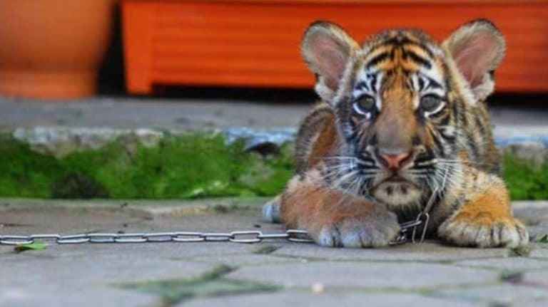 """Tigers used for tourist photo opportunities are often """"chained up, they have claws removed and sometimes they are drugged."""""""