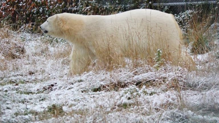 Henry the polar bear, formerly of Sea World on the Gold Coast, gets chilled out and comfortable at his new home in Canada.