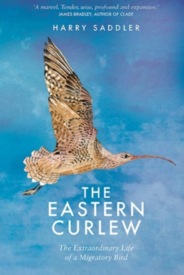The eastern Curlew. By Harry Saddler.