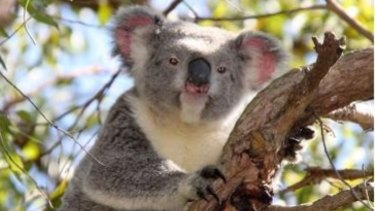 Dogs could be banned from some south-east Queensland suburbs in a bid to protect at-risk koalas.