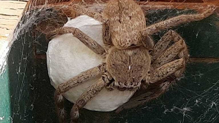 BROODING: This huntsman spider - dubbed 'Hortense' - guards her egg sac in a North Bendigo letterbox. They were born yesterday