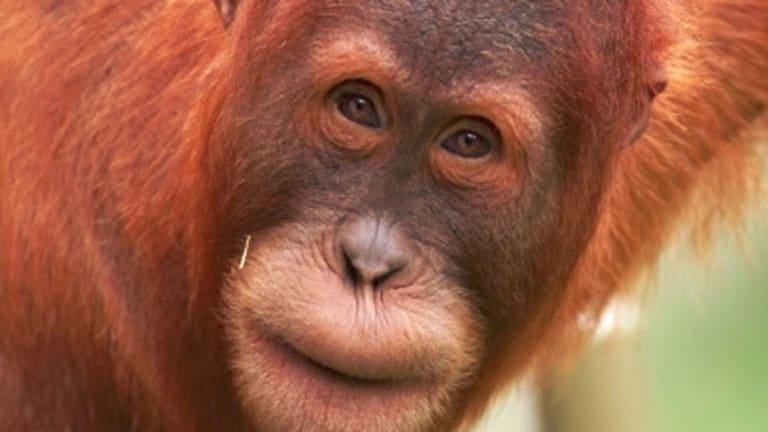 The orang-utan Malu.