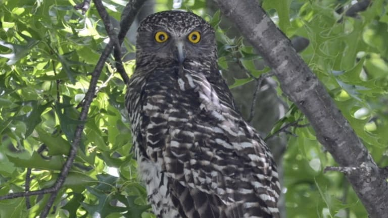 The powerful owl in Turner.
