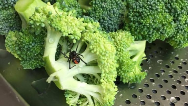 This redback was found in broccoli purchased from the Woolworths at Runaway Bay.