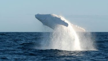 The world-famous Migaloo has been spotted off the Gold Coast on Tuesday.