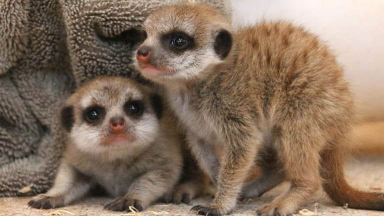 Baby meerkats at Taronga Zoo.