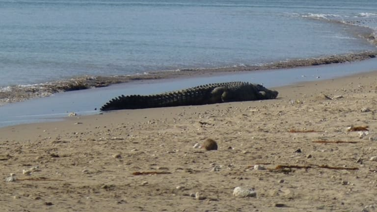 A four-metre-long crocodile sunbathing at Lasiana beach in late July 2016.