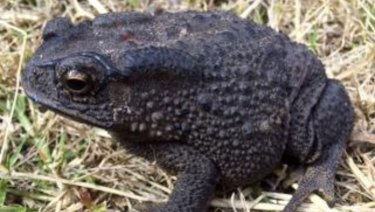 An Asian black-spined toad, was recently discovered in suburban Cloverdale.
