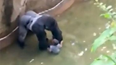 Harambe, the gorilla, plays with the boy in its enclosure at Cincinnati Zoo before it is shot dead.