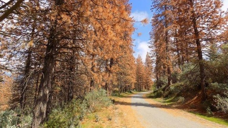 Dead trees along mountain road in the Sierra Nevada ranges.