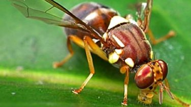 Although only 8mm in length, the Queensland fruit fly is one of Australia's most economically damaging pests.