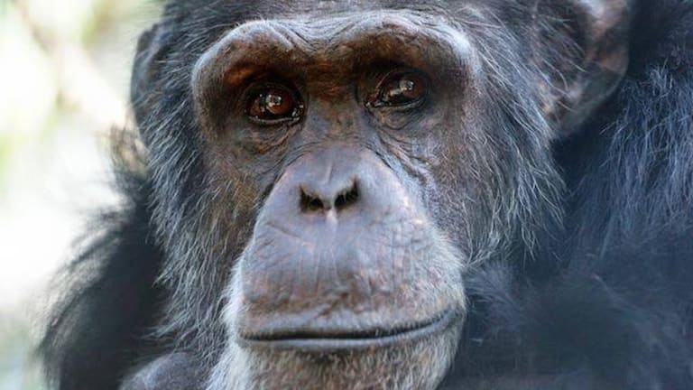 44-year-old Cassius has been at the Rockhampton Zoo since its chimpanzee program began in 1986.
