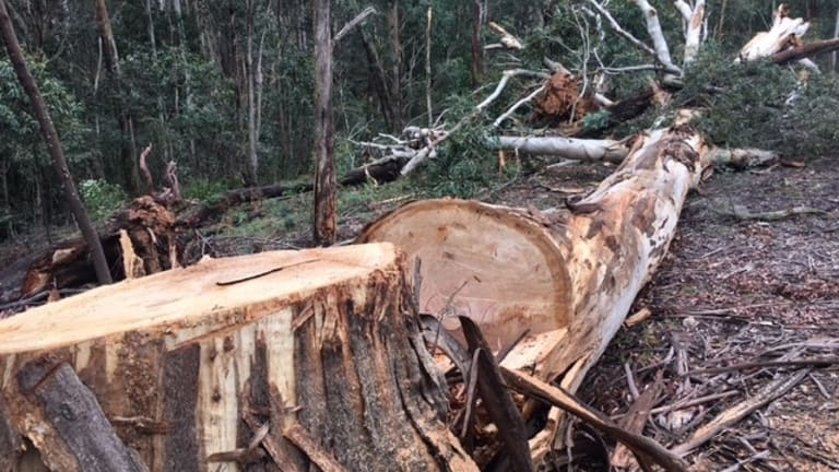 This tree was felled using a chainsaw - it's a pretty clean cut.