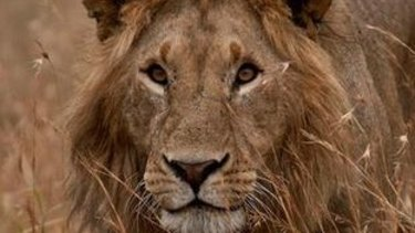 Cecil the lion was already a celebrity before he was killed by American dentist Walter Palmer.