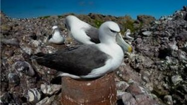 Sitting pretty: A shy albatross adapting to the artificial nest - the size of a very large dog bowl.