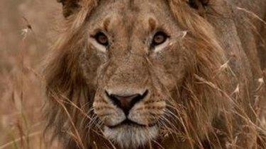 Shot dead: Cecil the lion