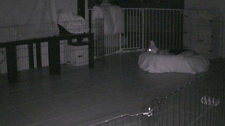 Caught napping: A Melbourne dog shown in a webcam image from the Russian site.
