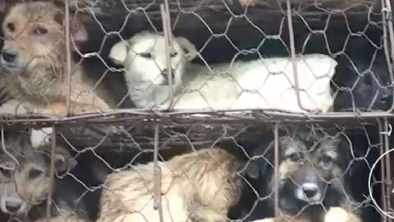 Some of the dogs on the truck that was intercepted by Chinese activists in Guangzhou.