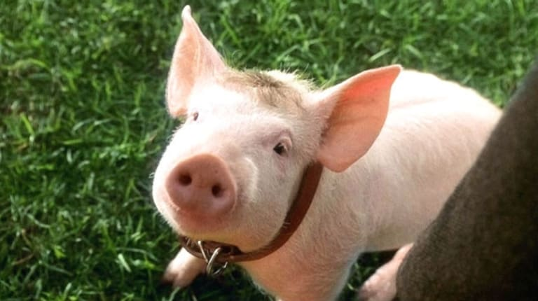 Remember this guy? Animal Logic animated Babe the pig.
