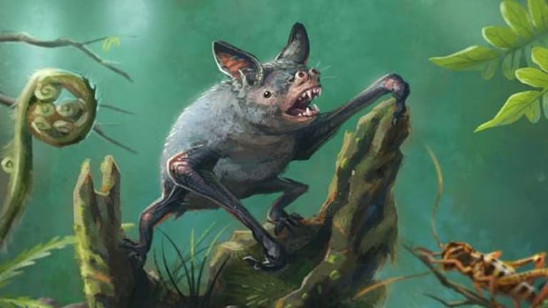 An artist's impression of a New Zealand burrowing bat, Mystacina robusta, that became extinct in the 1960s. The new fossil find, Vulcanops jennyworthyae, is an ancient relative of burrowing or short-tailed bats.