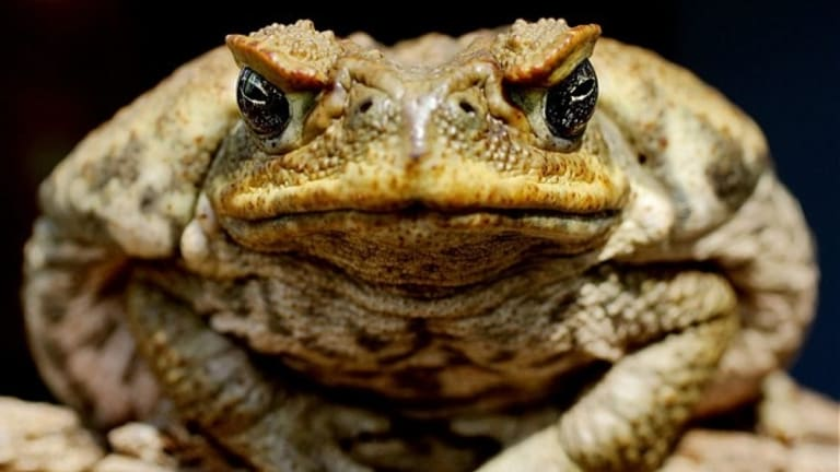Cane toad toxin is used to capture cane toad tadpoles in a bid to clear Queensland of the pest.