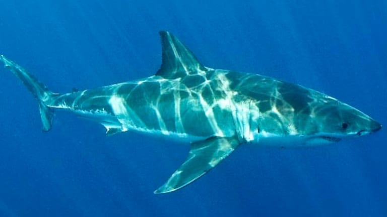 Male great white shark - one to avoid on the dinner table as well.