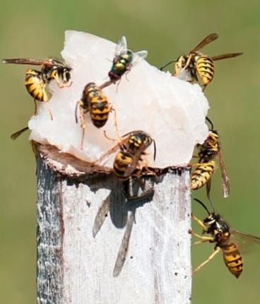 Stung: Lack of wasp research threatens WA agriculture, natives
