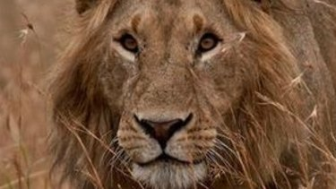 Shot dead: Cecil the lion