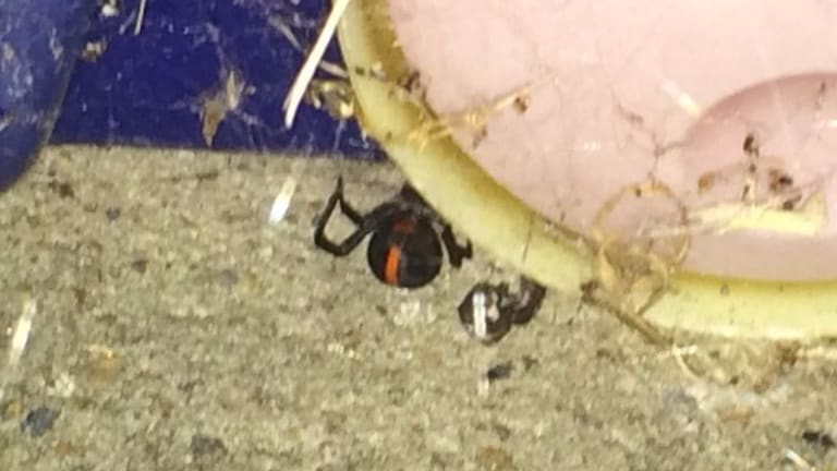 A redback captured among children's outdoor toys at West Ryde at the weekend.