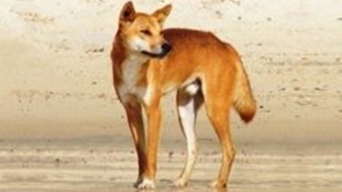 A dangerous dingo was euthanised on Fraser Island after multiple reports of violent and aggressive behaviour.
