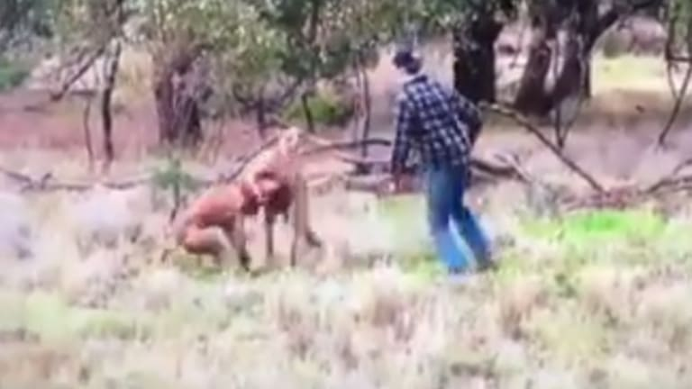 The man rushes to save his dog who is in the kangaroo's grip.