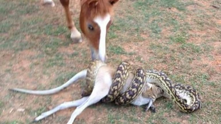 This scrub python was spotted eating a large wallaby at a property near Cairns.
