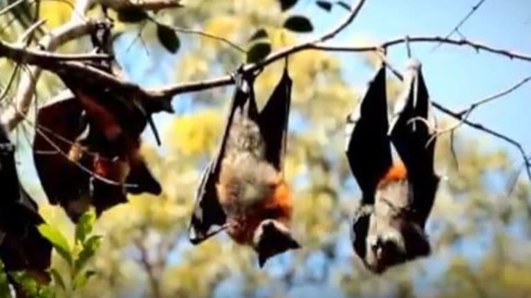 Bats re-locating on Sunshine Coast as warmer winters change eucalpt flowering.