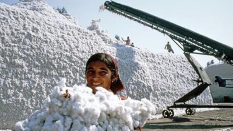 Cotton crop worker in Uzbekistan.