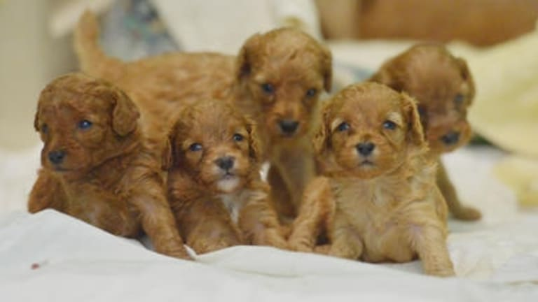 The Andrews government intends to introduce legislation that will reform the dog breeding and pet shop industries.