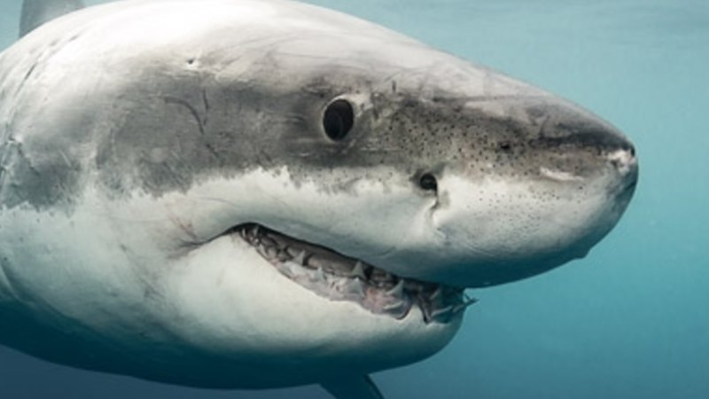 Nine fin facts about sharks in Victoria     and some