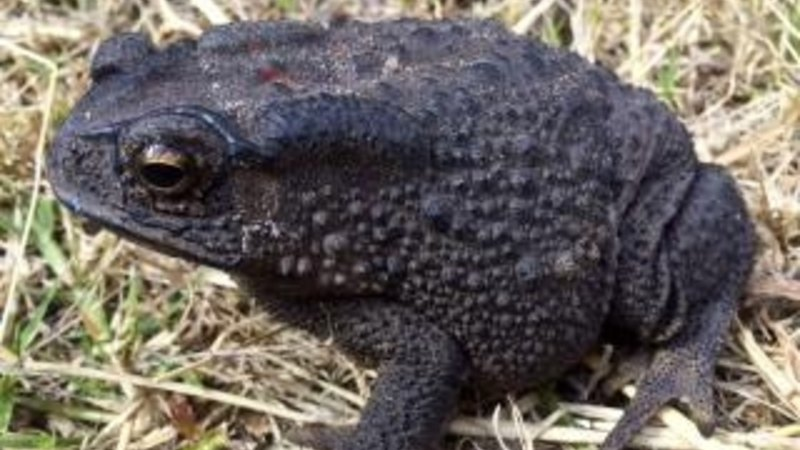Poisonous toad warning for Perth's eastern suburbs