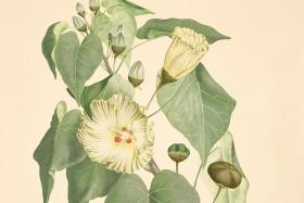 Thespesia populnea mahoe, Malvaceae.
