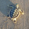 Sea turtle populations bouncing back around the world