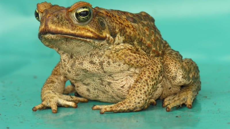 Q Significa Toad Are cane toads on the ...